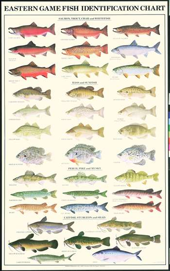 Nc freshwater fish species pictures to pin on pinterest for Nc saltwater fishing regulations 2017